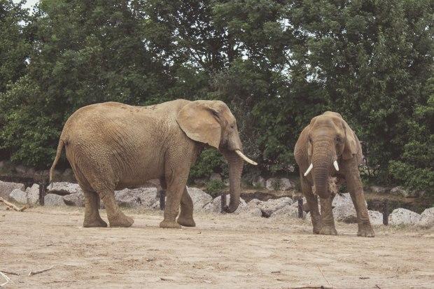 animal-africa-elephant